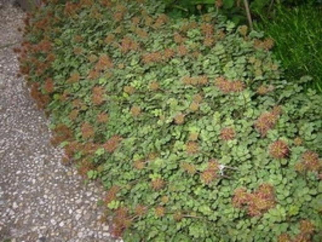 Intergard Acaena Microphylla Kupferteppich