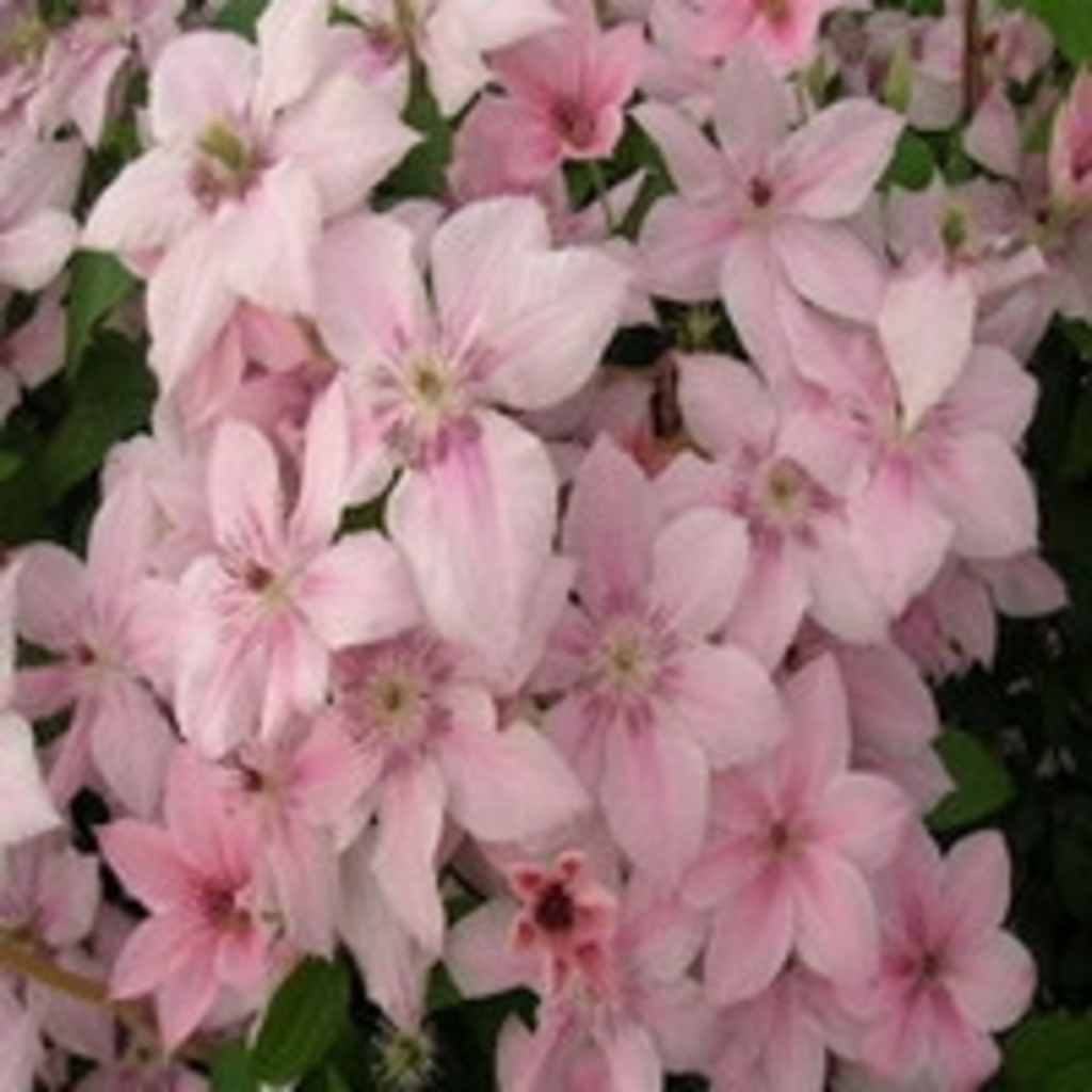 tuingerei clematis 39 pink fantasy 39 van intergard clematis. Black Bedroom Furniture Sets. Home Design Ideas