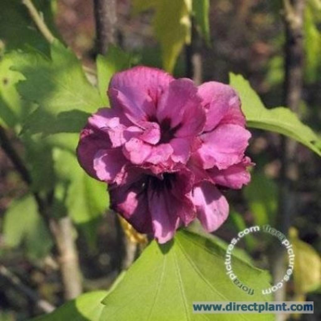 tuingerei hibiscus syriacus 39 duc de brabant. Black Bedroom Furniture Sets. Home Design Ideas