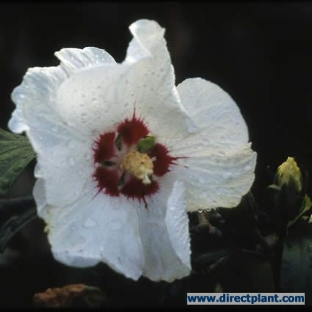 tuingerei hibiscus syriacus 39 red heart 39 altheastruik op. Black Bedroom Furniture Sets. Home Design Ideas
