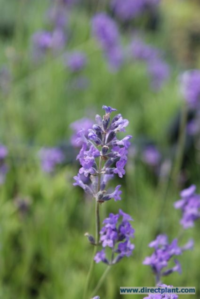 tuingerei lavandula angustifolia 39 dwarf blue 39 lavendel. Black Bedroom Furniture Sets. Home Design Ideas