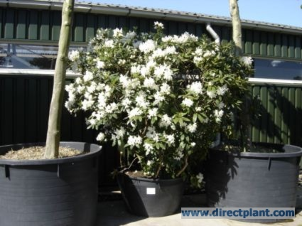 tuingerei rhododendron 39 cunningham white 39 rhododendron 125 150 cm van rhododendron. Black Bedroom Furniture Sets. Home Design Ideas