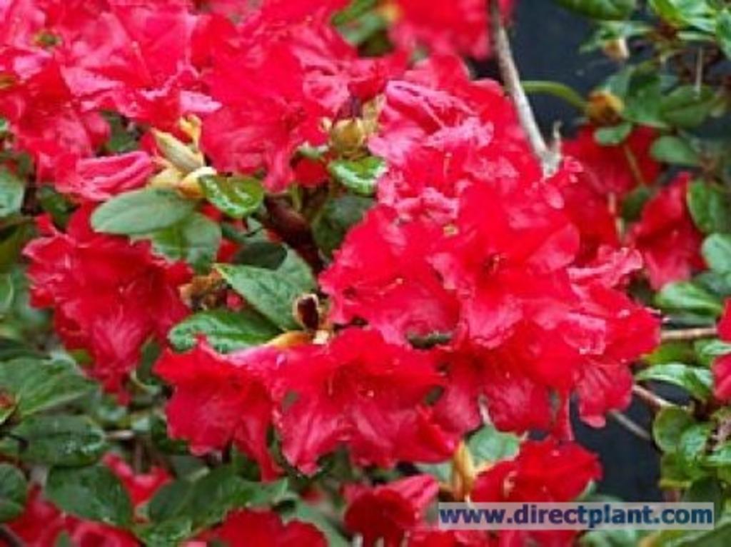 tuingerei rhododendron 39 mollis 39 rood azalea 125 150 cm van rhododendron 39 mollis 39 rood misc. Black Bedroom Furniture Sets. Home Design Ideas