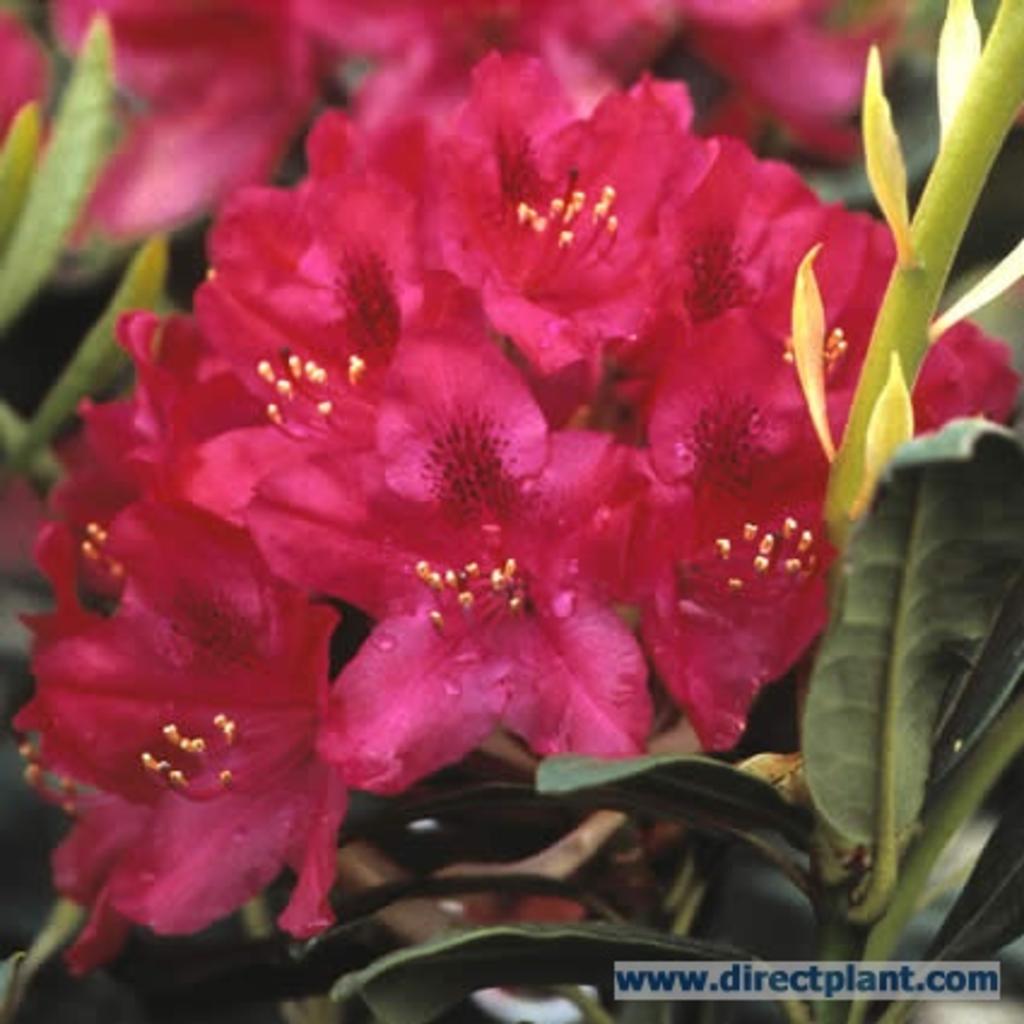 tuingerei rhododendron 39 nova zembla 39 rhododendron 150 175 cm van rhododendron 39 nova zembla. Black Bedroom Furniture Sets. Home Design Ideas