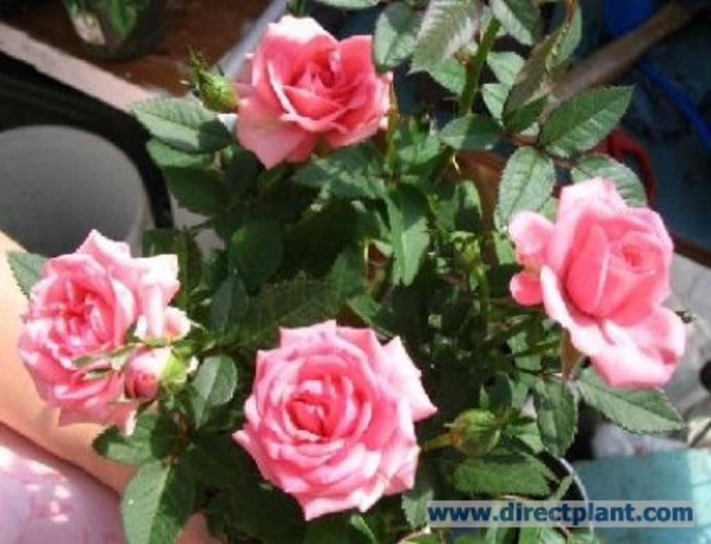 tuingerei rosa mini rose miniatuurroos pot van rosa mini rose misc. Black Bedroom Furniture Sets. Home Design Ideas