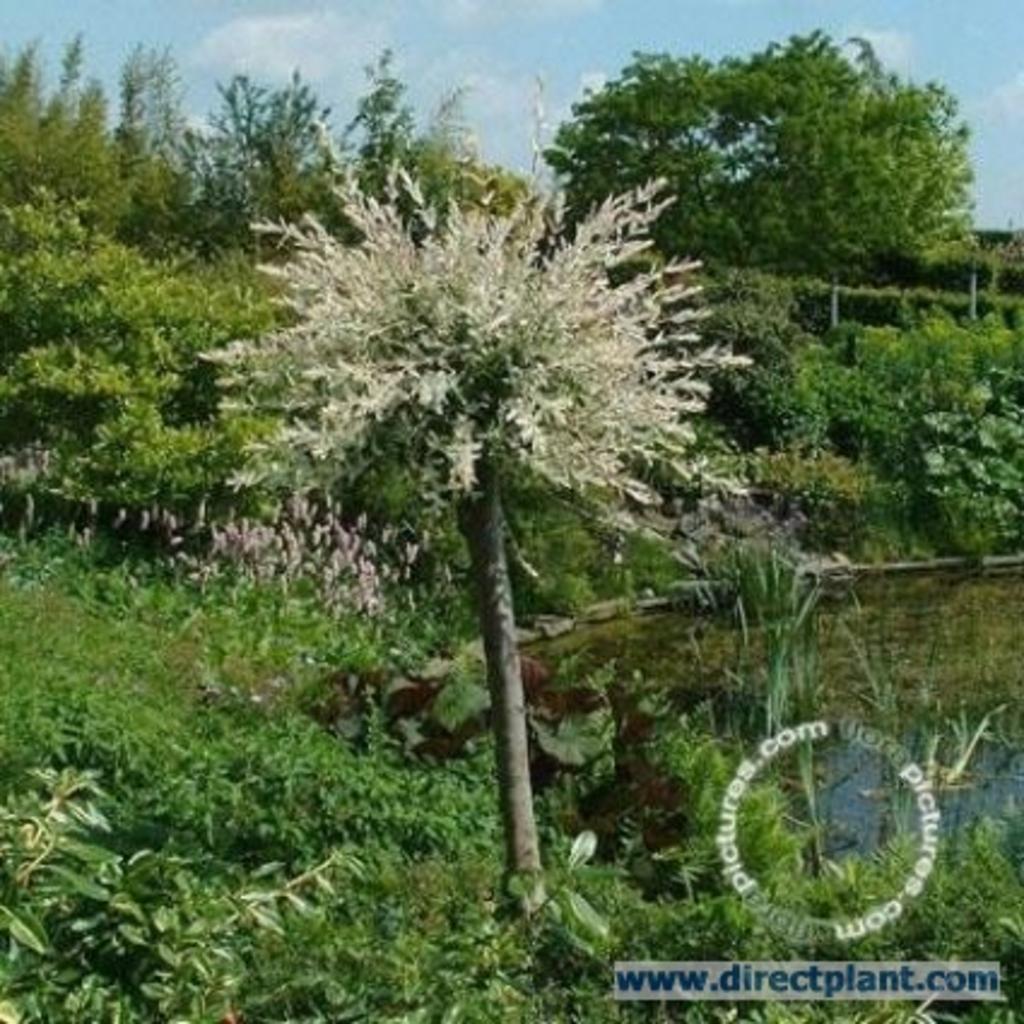 Salix Integra 'hakuro-Nishiki' (wilg Op Stam) 100 CmVan Salix Integra ...: tuingerei.nl/product/misc/misc/salix-integra-apos-hakuro-nishiki...