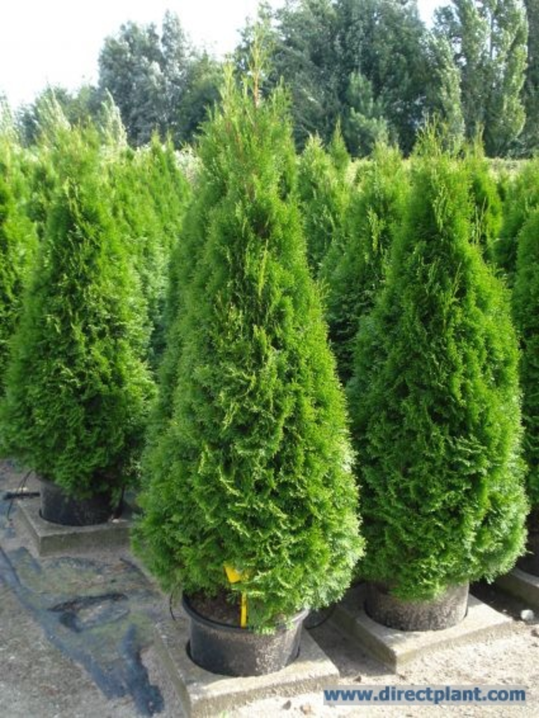 tuingerei thuja occidentalis 39 smaragd 39 westerse levensboom 50 60 cm van thuja occidentalis. Black Bedroom Furniture Sets. Home Design Ideas