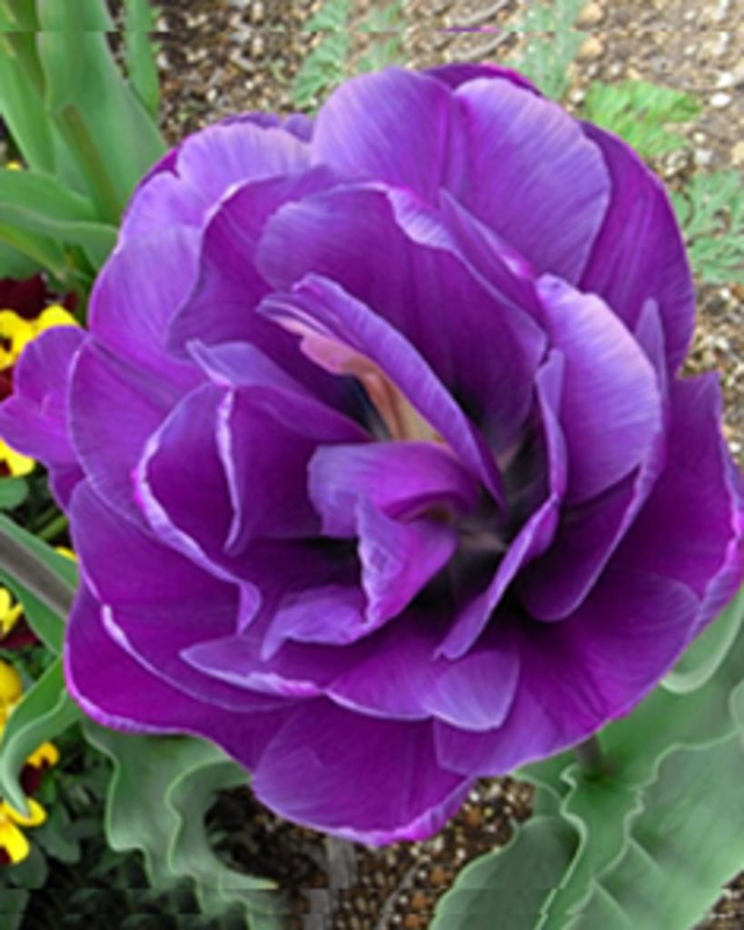 tuingerei tulpen blue diamond van tuincentrumkoeman. Black Bedroom Furniture Sets. Home Design Ideas